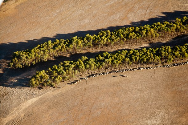 Mallee_trees._courtesy_of_Cliff_Winfield_Dept_of_Parks_and_Wildlife_WA
