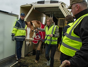 50 thoroughbreds were flown in exceptional comfort on Qatar Airways Cargo's Boeing 777 freighter, chartered from Amsterdam to Omaha.